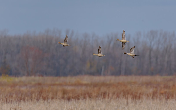 Northern Pintails in flight at Kankakee FWA, North Judson, IN