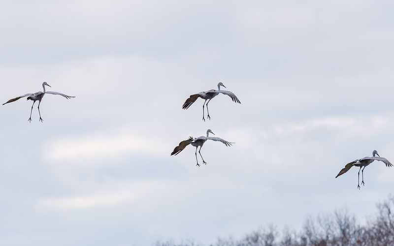 landing gear activated...Sandhill Cranes in flight at Jasper-Pulaski FWA, Medaryville, IN