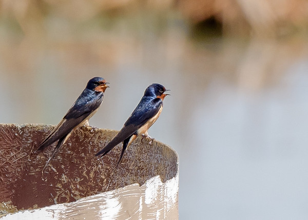 Barn Swallow on Patrol Rd marsh in Willow Slough FWA, Morocco, IN