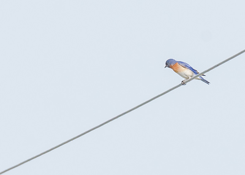 Eastern Bluebird at Kankakee Sands Bison Viewing, Morocco, IN