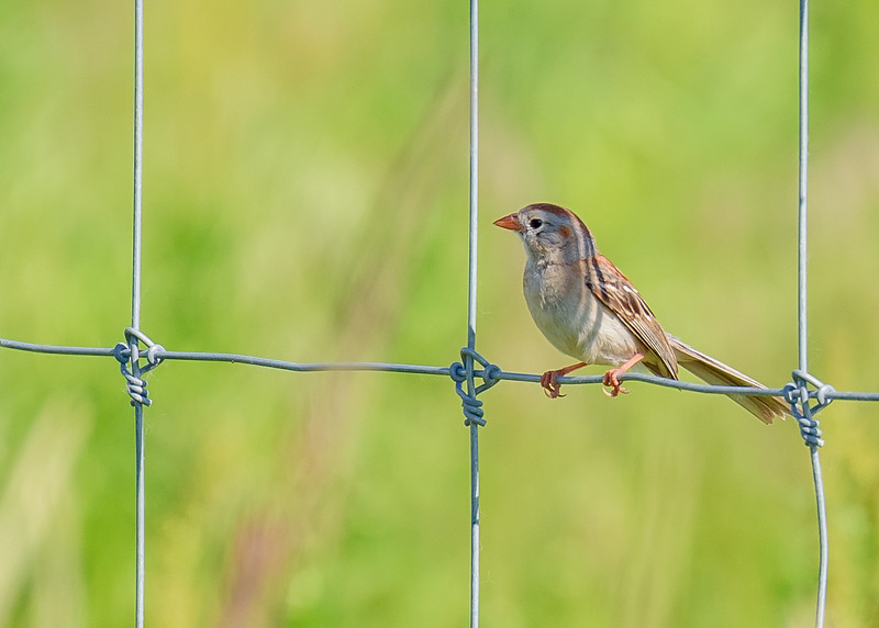 Field Sparrow at Kankakee Sands Bison Viewing, Morocco, IN