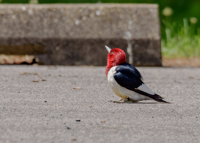 Red-headed Woodpecker at Willow Slough FWA, Morocco, IN