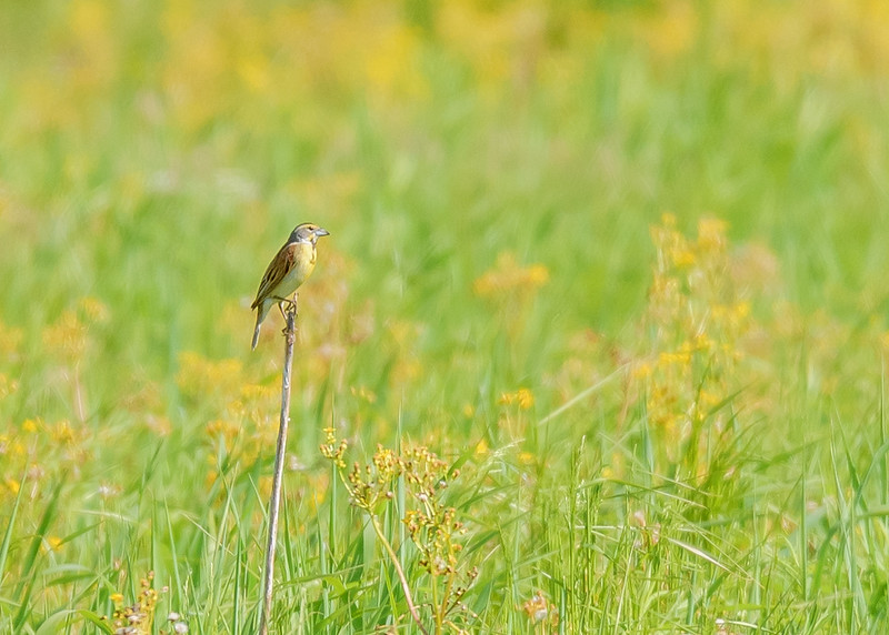 Dickcissel at Kankakee Sands Bison Viewing, Morocco, IN