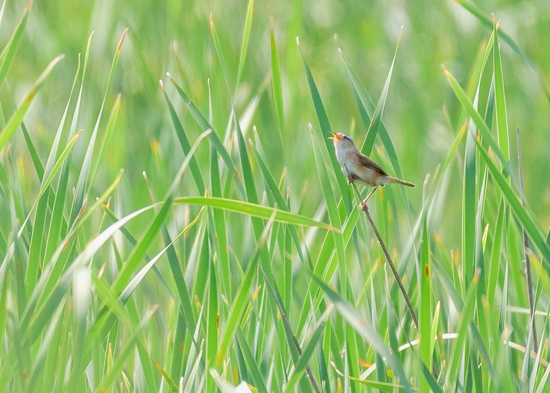 Marsh Wren on Patrol Rd marsh in Willow Slough FWA, Morocco, IN