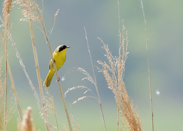 Common Yellowthroat on Patrol Rd marsh in Willow Slough FWA, Morocco, IN
