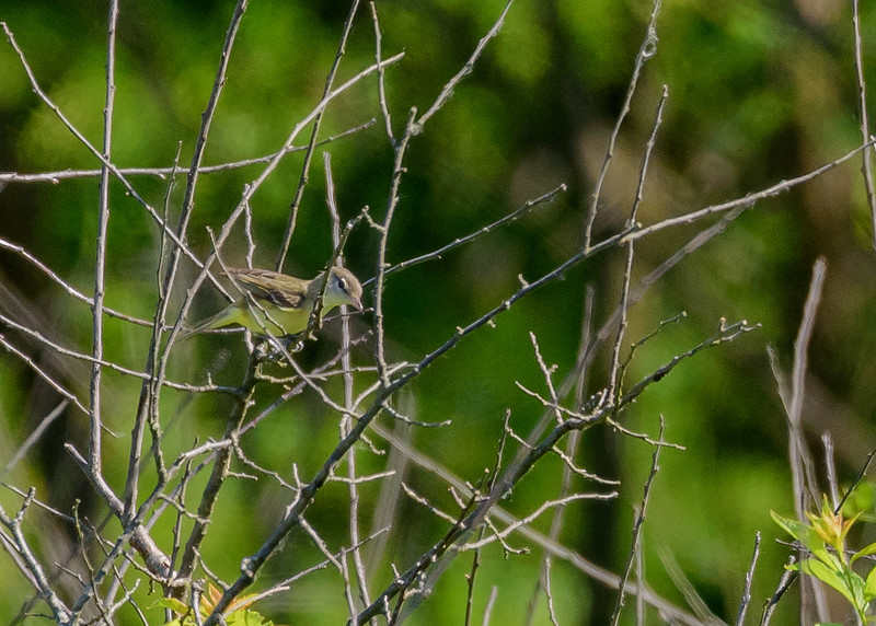Bell's Vireo at unit 9 of Willow Slough FWA, Morocco, IN