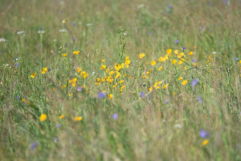 Wild flowers at Nature Conservancy, Kankakee Sands, Morocco, IN