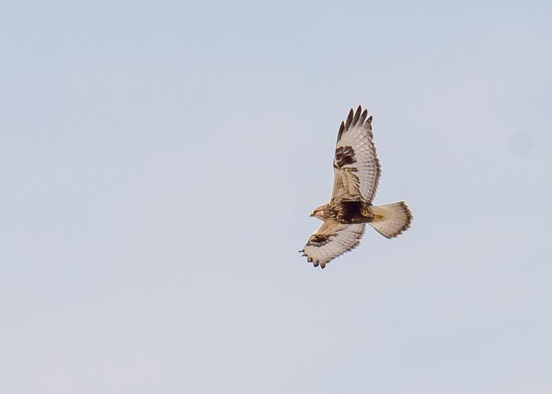 Rough-legged Hawk in flight at Reynolds Creek Game Bird Habitat, Michigan City, IN