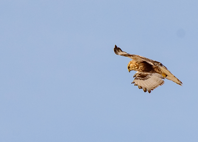 Rough-legged Hawk in flight at Reynolds Creek Game Bird Habitat, Michigan City, IN