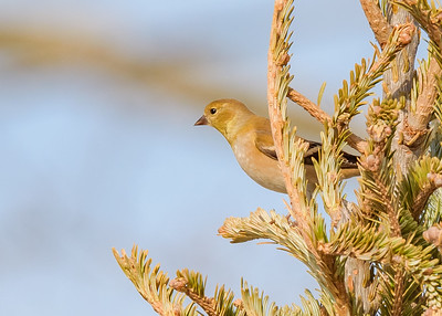 American Goldfinch at Chesterton Feeds, Chesterton, IN