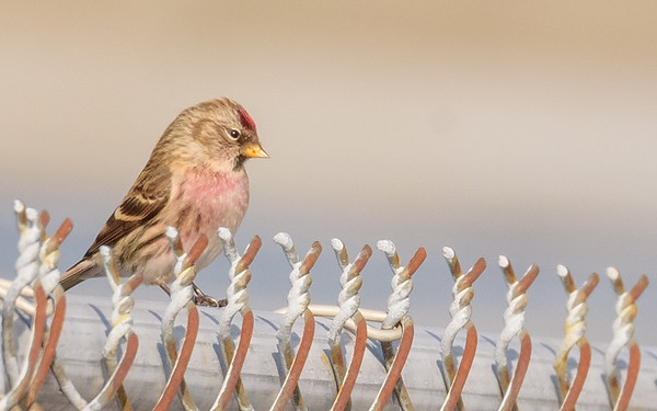 Common Redpoll at Chesterton Feeds, Chesterton, IN