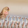 Common Redpoll at Chesterton Feeds