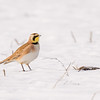 Horned Lark at Reynolds Creek Game Bird Habitat
