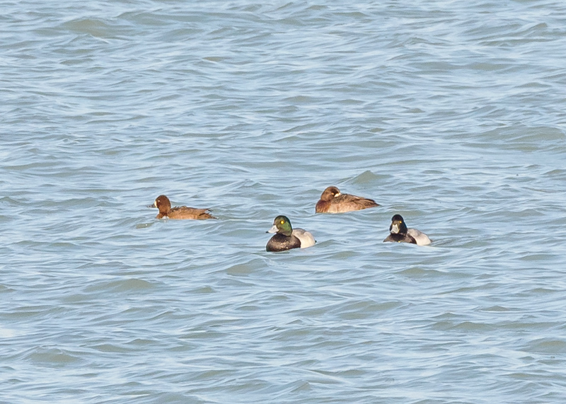 Greater Scaups at Portage Lakefront & Riverwalk, Portage, IN