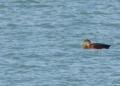 American Black Duck at Port of Indiana, Portage, IN