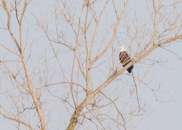 Bald Eagle at Reynolds Creek Game Bird Habitat