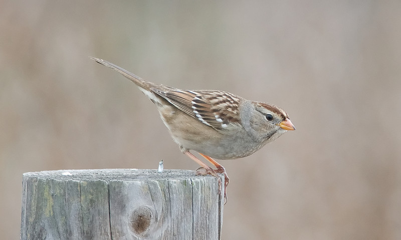 White-crowned Sparrow (juvenile)