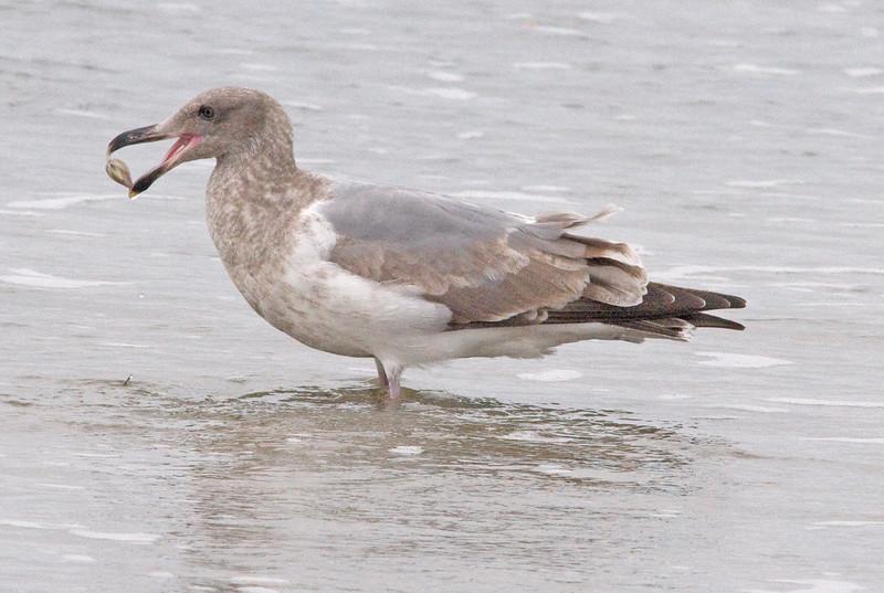 Herring x Glaucous-winged Gull hybrid