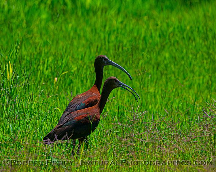 Plegadis chihi White-faced ibis 2021 07-17 Yolo ByPass--103