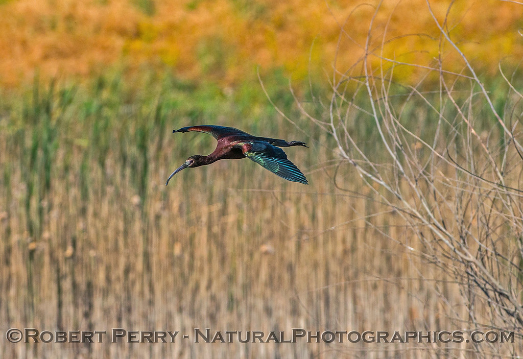 Plegadis chihi white-faced ibis 2017 06-04 Yolo By-Pass - 114