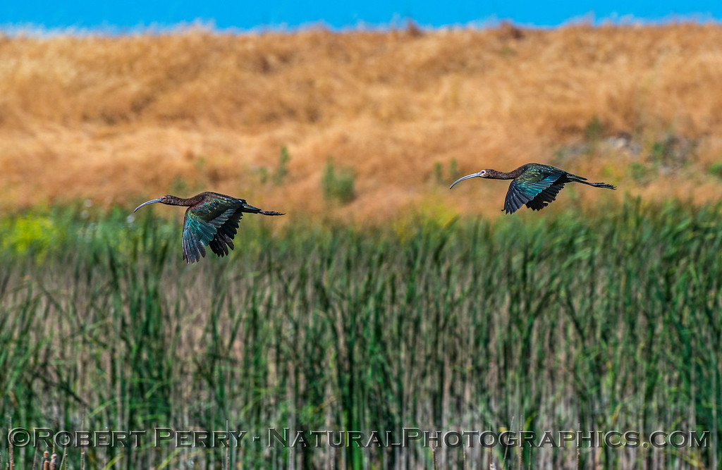 Plegadis chihi white-faced ibis 2 in flight 2017 06-04 Yolo By-Pass - 282