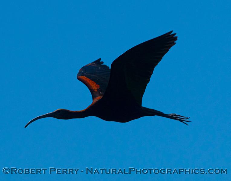 Plegadis chihi White-faced ibis 2021 07-17 Yolo ByPass--141