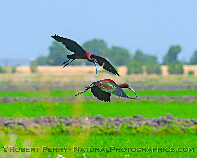 Plegadis chihi White-faced ibis in flight 2020 06-28 Yolo ByPass--058