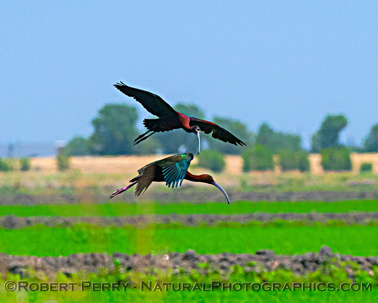 Plegadis chihi White-faced ibis in flight 2020 06-28 Yolo ByPass--057