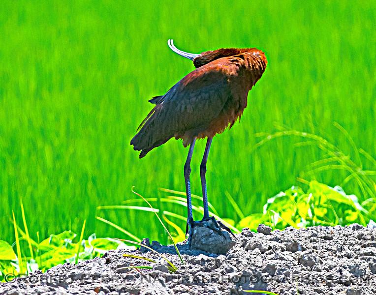 Plegadis chihi White-faced ibis 2021 07-17 Yolo ByPass--032