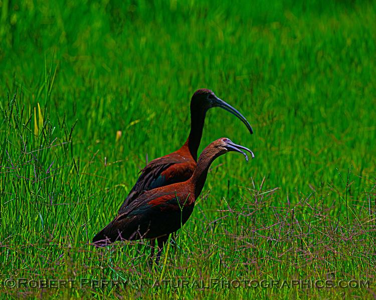 Plegadis chihi White-faced ibis 2021 07-17 Yolo ByPass--114