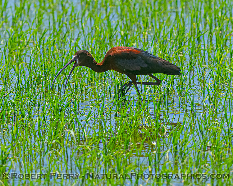 Plegadis chihi White-faced ibis in Oryza sativa Rice field 2020 06-28 Yolo ByPass--063