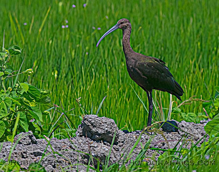 Plegadis chihi White-faced ibis 2021 07-17 Yolo ByPass--060