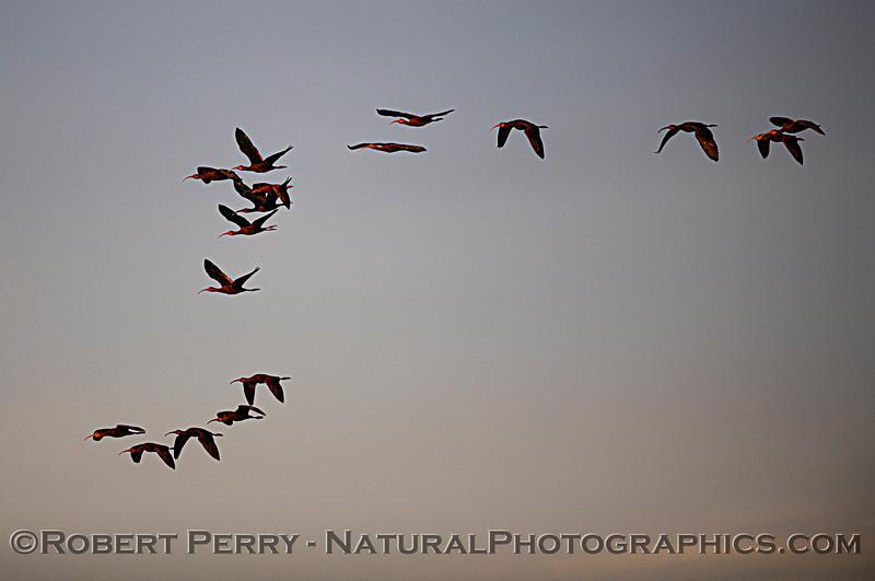 Plegadis chihi White-faced ibis flock in flight Sunset 2020 12-09 Sac NWR-006
