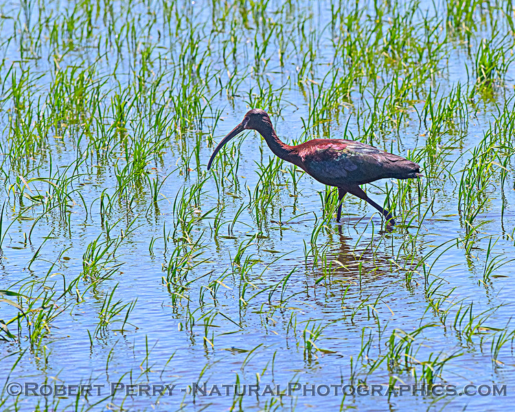 Plegadis chihi White-faced ibis in Oryza sativa Rice field 2020 06-28 Yolo ByPass--034