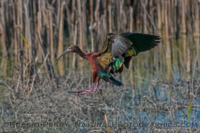Plegadis chihi white-faced ibis 2017 06-04 Yolo By-Pass - 119