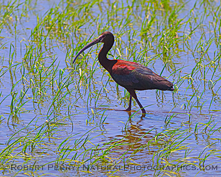 Plegadis chihi White-faced ibis in Oryza sativa Rice field 2020 06-28 Yolo ByPass--015