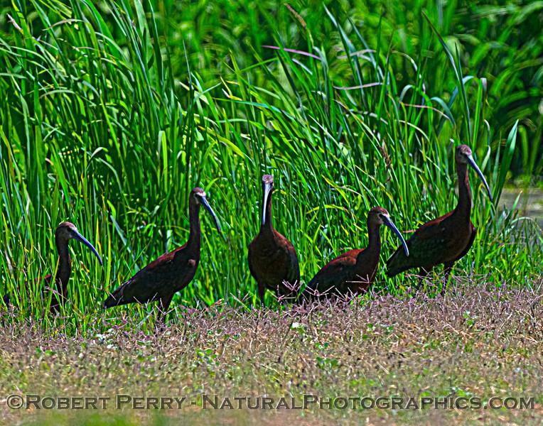 Plegadis chihi White-faced ibis 2021 07-17 Yolo ByPass--147