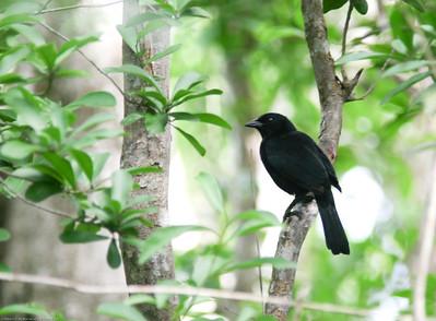 Melodious Blackbird- Puerto Morelos_MX 571