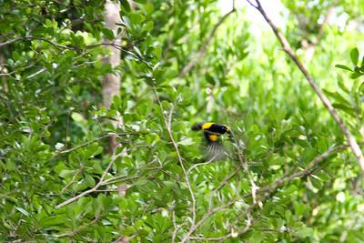 Black-cowled Oriole- Puerto Morelos_MX 568