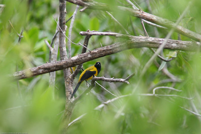 Yellow-backed Oriole- Puerto Morelos_MX 461