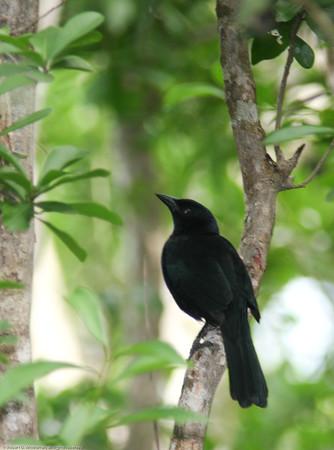 Melodious Blackbird- Puerto Morelos_MX 573
