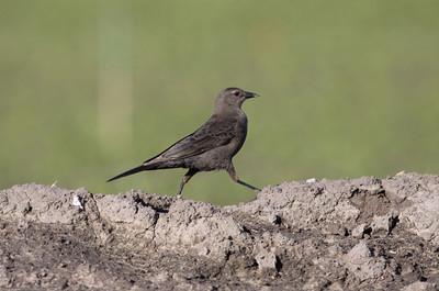 Blackbird-ArnoldRd_VenCo_CA-9559