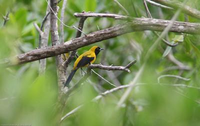 Yellow-backed Oriole- Puerto Morelos_MX 460
