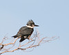 Belted Kingfisher, Feb 9, 2012, Marina