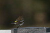 Yellow-Rumped Warbler, Feb 9, 2012, Marina
