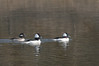 Bufflehead, Feb 9, 2012, Marina