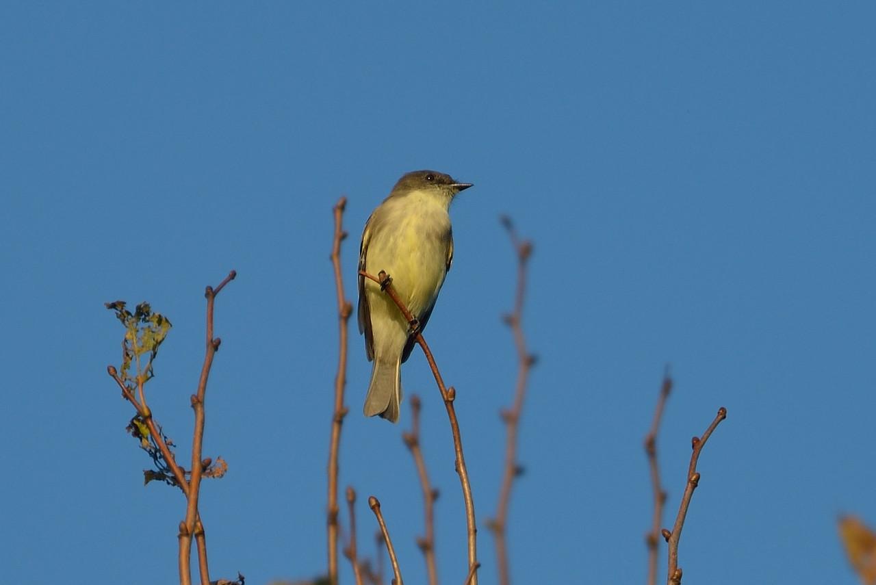 Yellow-Bellied Flycatcher? Meadowbrook