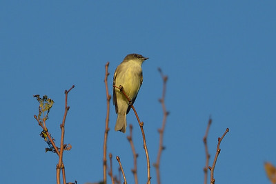 Yellow-Bellied Flycatcher? Meadowbrook