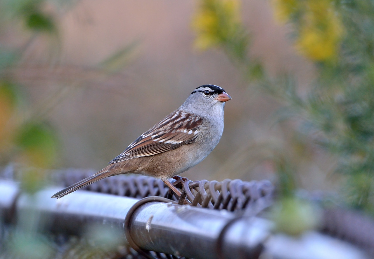 Meadowbrook park, White-Crowned Sparrow