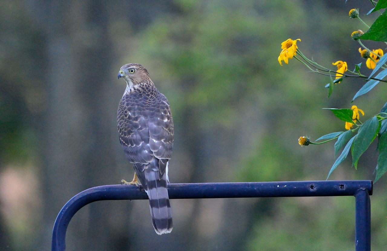 Meadowbrook park, Cooper's Hawk